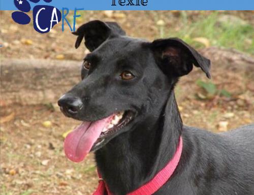 CARFIE Van De Week: Texie | Adopteer een hond uit Curaçao