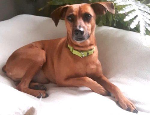Hond Bram uit Curaçao vindt nieuw thuis in Nederland