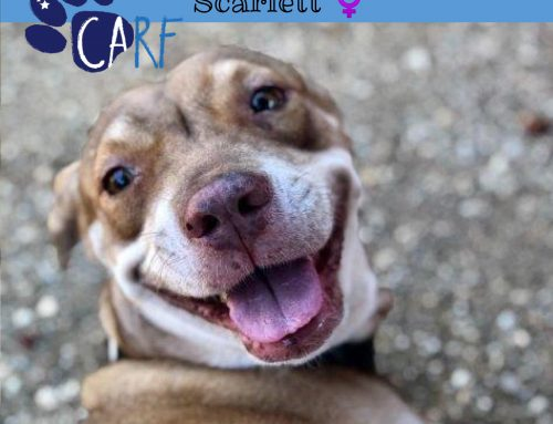 Scarlett is a 3-year old dog who came into our care 1,5 years ago. Scarlett was kind of sh…