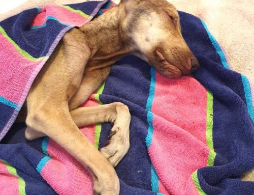 Meet Emma | Severely Emaciated, Extremely Weakened, and Totally Helpless