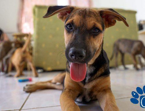 CARF Curaçao redt 8 Puppy's: Van Zielige Hoopjes Ellende tot Vrolijke Pups